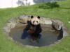 Panda_onsen